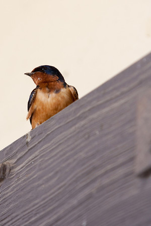 Barn Swallow at CPP