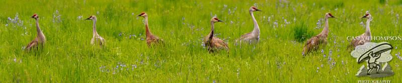 Sandhill Cranes Stop to Smell The Flowers
