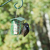 Downy Woodpecker-10102015-105905(f)