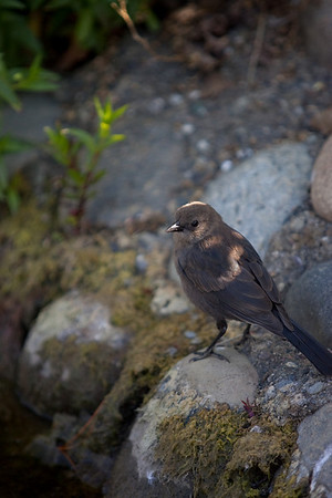 Female Brewer's Blackbird at the Civic Center Pond