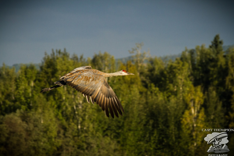 A Sandhill Crane heads for the tree tops at sunrise.