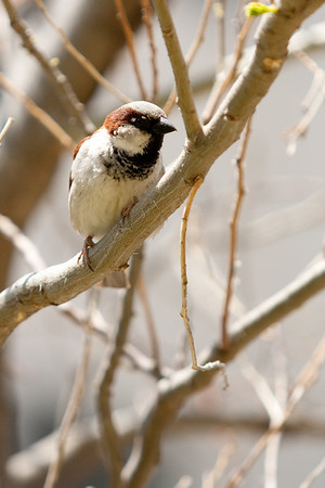 Male House Sparrow at CPP (summer colors)