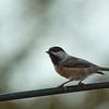 Chickadee-11032015-173655(f)