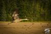 Sunrise Flight - Fall Sandhill Crane Migration - Creamer's Field Migratory Waterfowl Refuge
