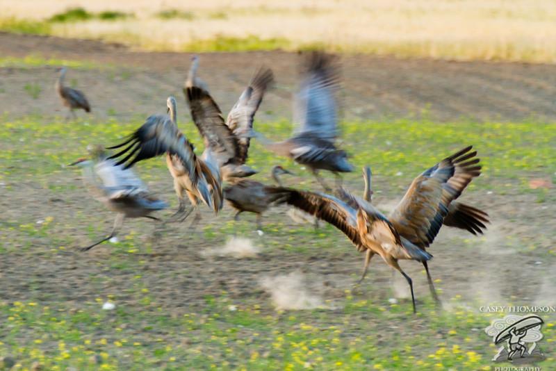 7 Cranes A Dancing