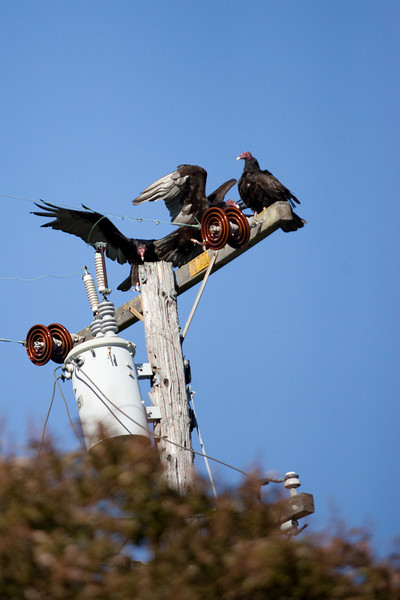Turkey Vultures chillin on a phone poll