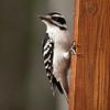 Downy Woodpecker-11062015-140835(f)