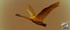 Golden Swan - Spring 2012