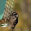 Downy Woodpecker-10152015-124944(f)