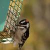 Downy Woodpecker-10152015-124944(f)