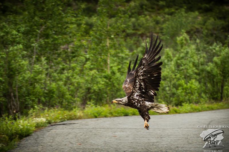Flight of a juvenile Bald Eagle.
