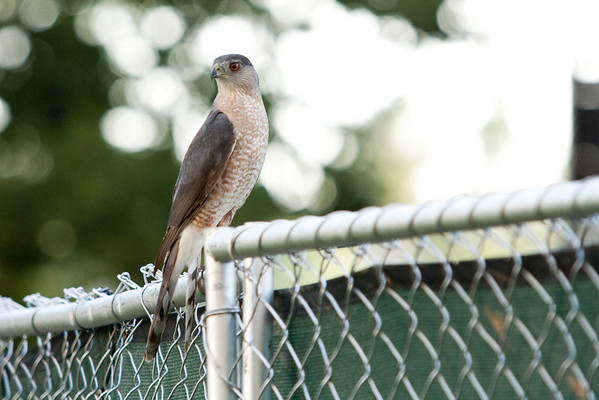 Cooper's Hawk (I think) at CPP