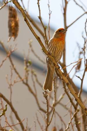 Male House Finch at CPP_