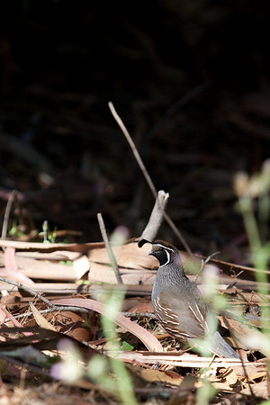 Male California Quail in Marin