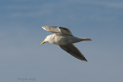 Seagull you fly