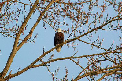Bald Eagle - Profile