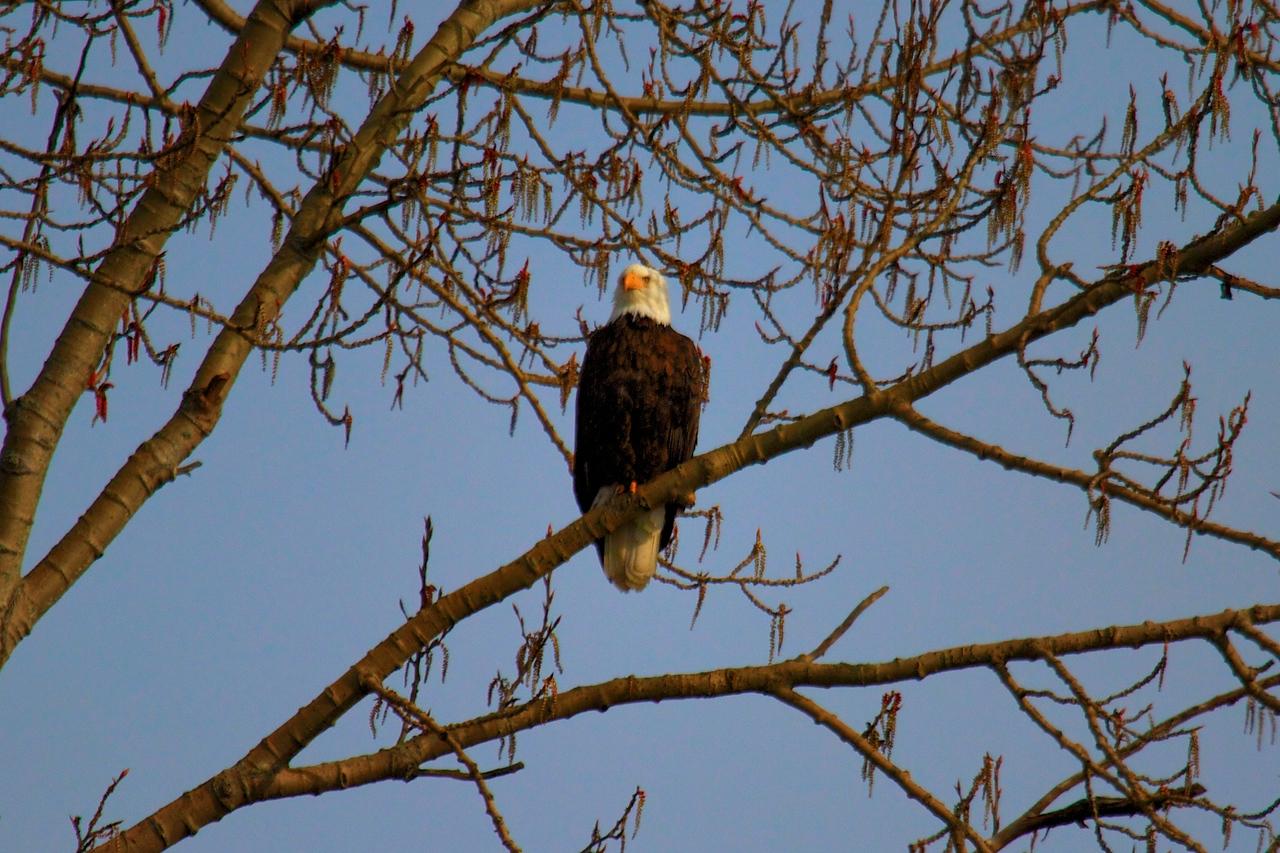 Bald Eagle - Front