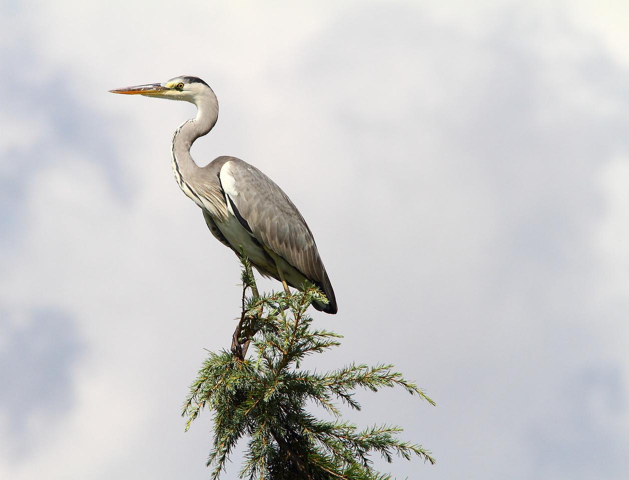 Fish-hunter birds-1