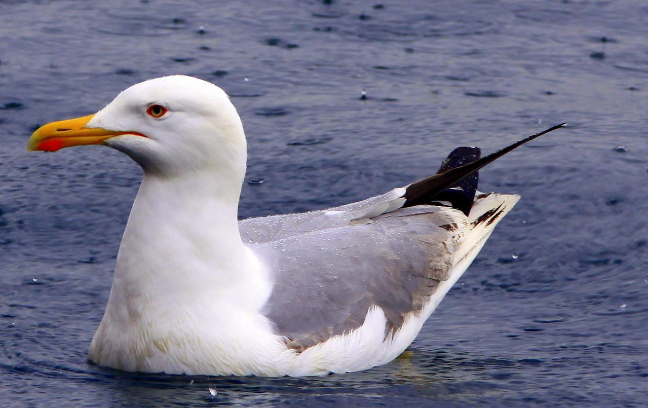 Yagmur altindaki marti.. Seagull under the rain...