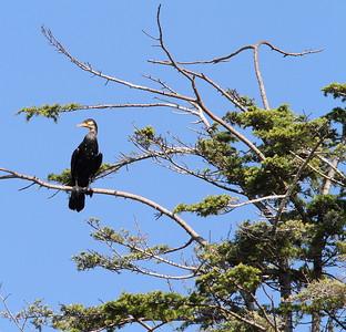 Cormorants-02
