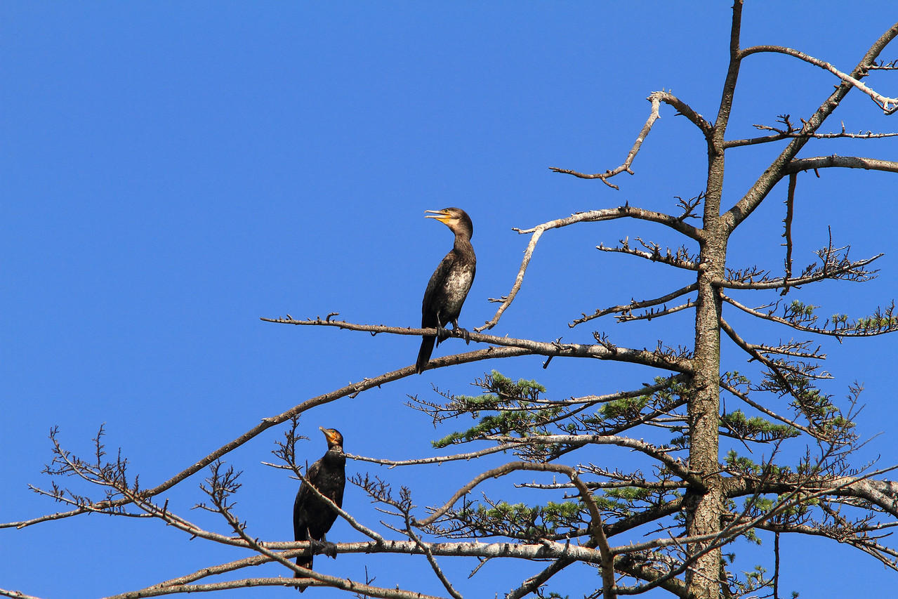 Cormorants-06