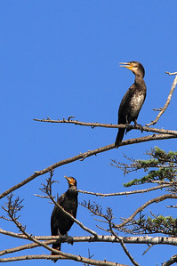 Cormorants-11
