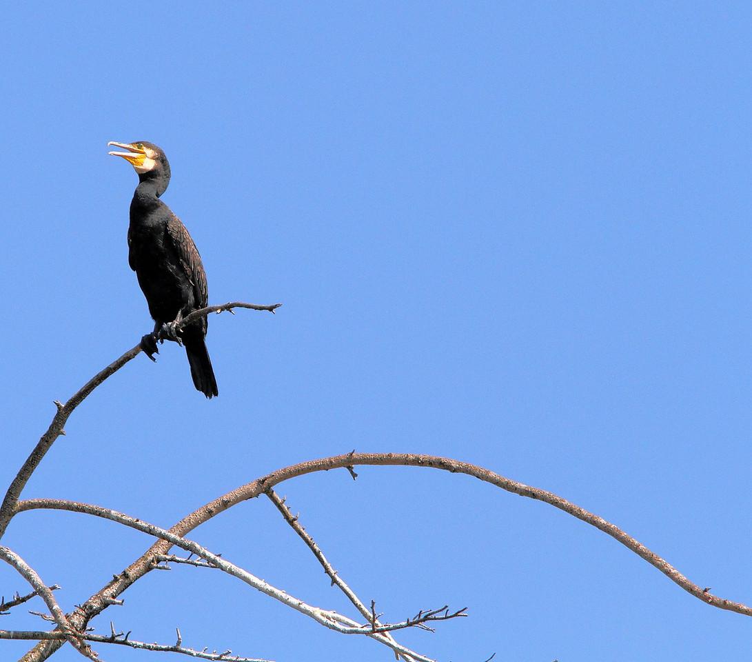 Cormorants-09