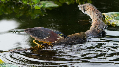 green heron fishing 3