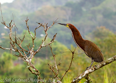 Rufouscent Tiger Heron-6