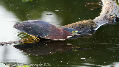 green heron fishing 1