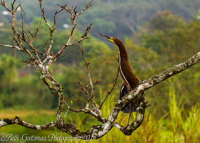 Rufouscent Tiger Heron-10