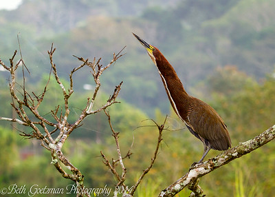 Rufouscent Tiger Heron-5