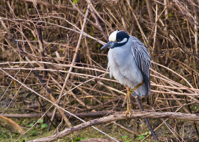 yellow-crowned night heron (1 of 1)