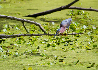 Green Heron (1 of 1)