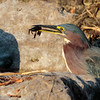 gree heron - The Woodlands - catchlight