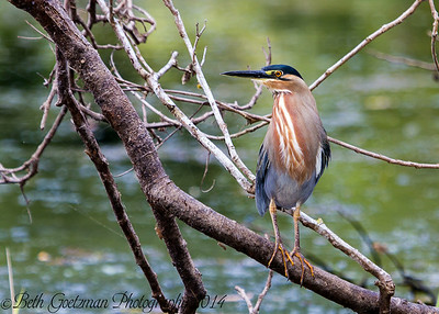 striated heron-3