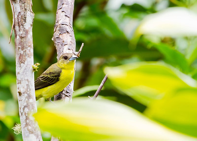 lemon-rumped tanager - female-Ecuador