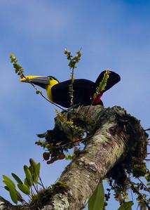 Choco Toucan-Ecuador
