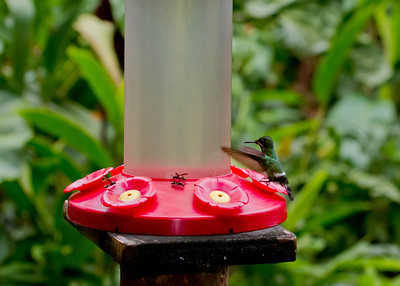 green thorntail hummingbird - female - Ecuador