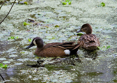Blue-Winged teal - male and female