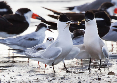 Caspian Terns - taking during mating ritual