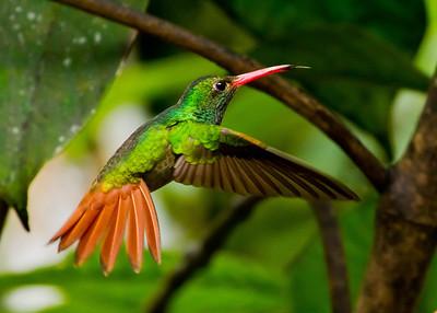 Rufous-Tailed Hummingbird - Ecuador