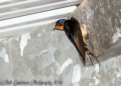 cave swallow--BNWR-3