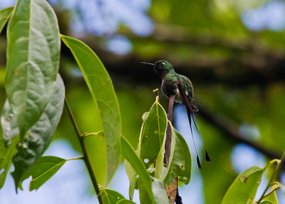Booted Racquettailed Hummingbird - Ecuador