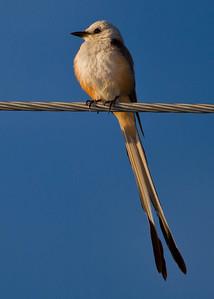 scissored tail flycatcher