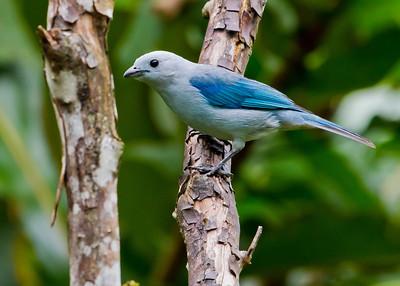 Blue Tanenger - Ecuador