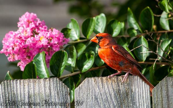 Tanagers, Cardinals and Euphonia