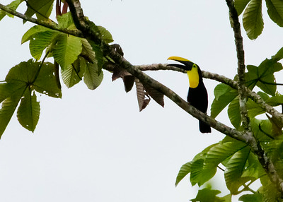 Piciformes - Woodpeckers, Toucans, Puffbirds, Jacamars