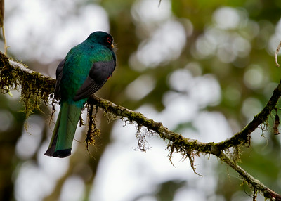 Trogons and Motmots