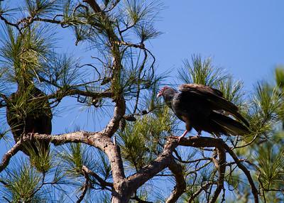 Vultures and Cara Cara
